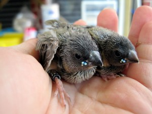 Baby Gouldian Finch
