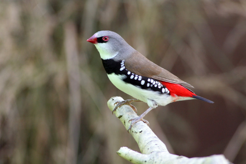 Diamond Firetail Photos
