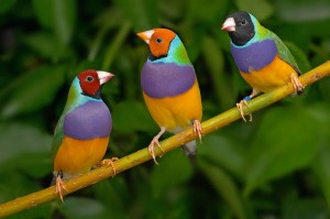 Blue Gouldian Finch