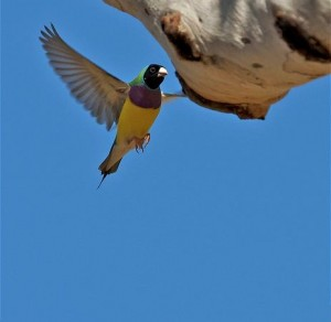 Gouldian Finch Flying