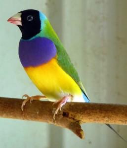 Gouldian Finch Breeding Diet
