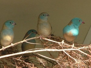 Cordon bleu finch nest