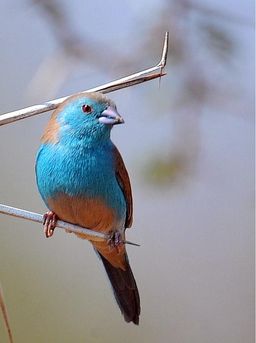 Cordon bleu finch nest - photo#20