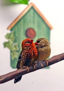 Male and Female Strawberry Finch