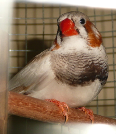 how to take care of a zebra finch