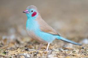 Red Cheeked Cordon Bleu Waxbill
