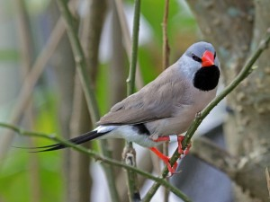 Shaft-Tail Finch