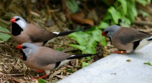 Shaft-Tail Finch Birds