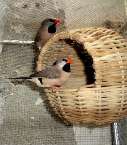 Shaft-Tail Finch Cage Setup
