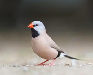 Shaft-Tail Finch Photos