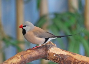 Shaft-Tail Finch Pictures