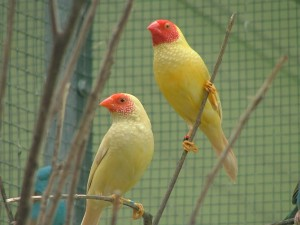 Star Finch Birds