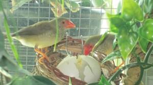 Star Finch Egg