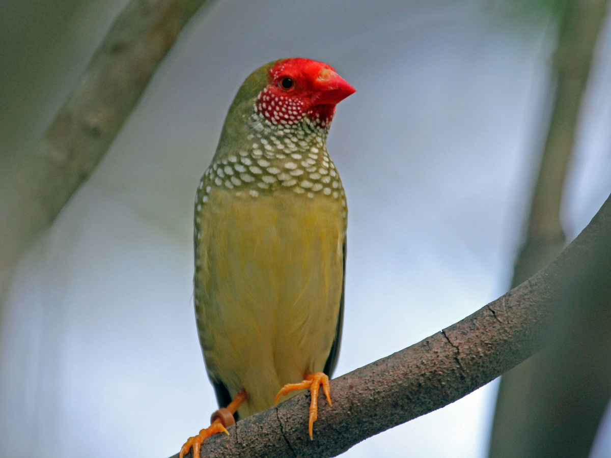 Yellow Star Finch Star Finch Facts, As P...