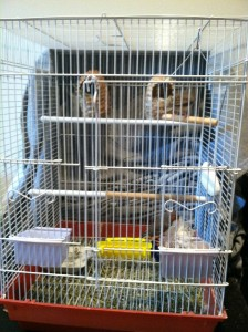 Strawberry Finch Cage Setup