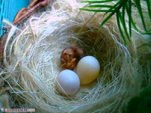 Strawberry Finch Eggs