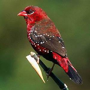 Strawberry Finch Images