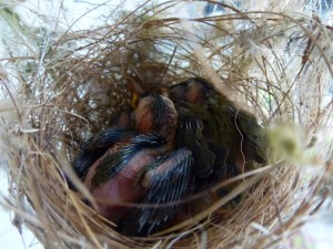 Strawberry Finch Nest