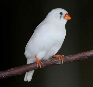 White Zebra Finch