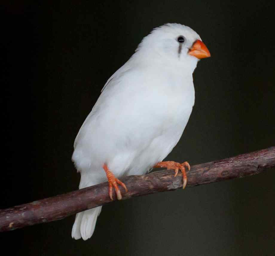 Zebra Finch Facts, As Pets, Care, Temperament, Pictures ...