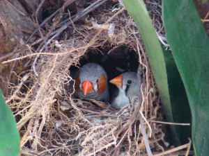 Zebra Finch Nest
