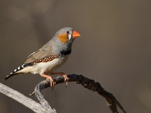 Zebra Finch Photos