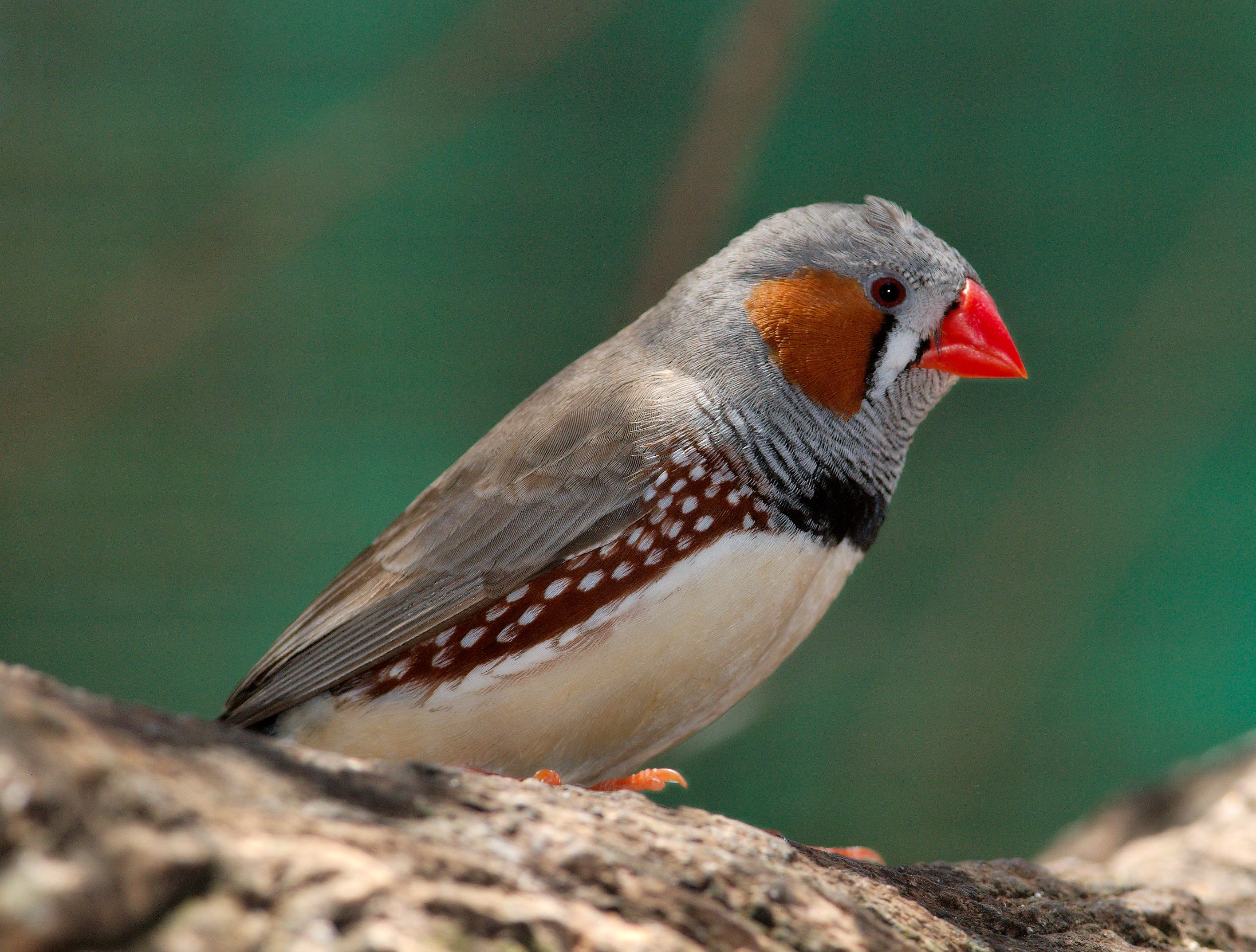 Zebra finch facts as pets care temperament pictures Pictures of birds