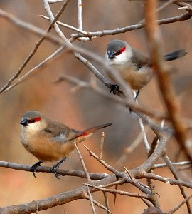 Crimson Rumped Waxbill Birds