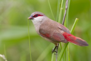 Crimson Rumped Waxbill Images