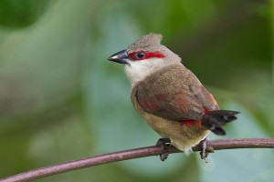 Crimson Rumped Waxbill Photos