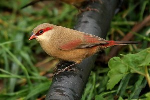 Crimson Rumped Waxbill Pictures