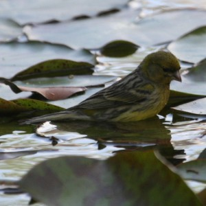 Domestic Canary Bathing