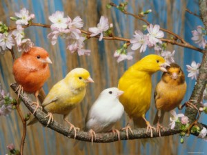 Domestic Canary Birds