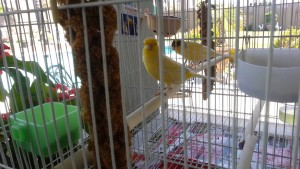 Domestic Canary Cage Setup