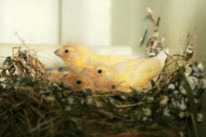 Domestic Canary Chicks