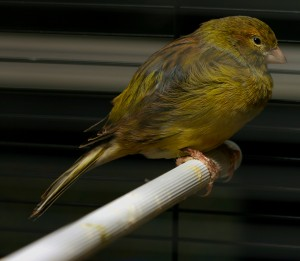 Domestic Canary Images