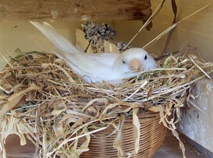 Domestic Canary Nest