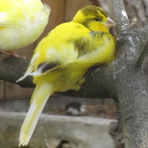 Domestic Canary Photos