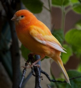 Domestic Canary Pictures