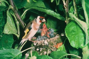 European Goldfinch Chicks