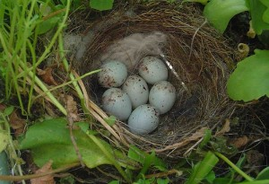 European Goldfinch Eggs