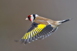 European Goldfinch Flying