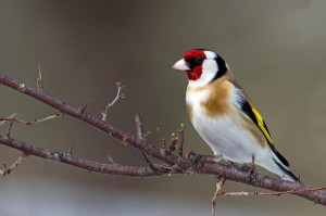 European Goldfinch Images