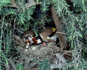 European Goldfinch Nest