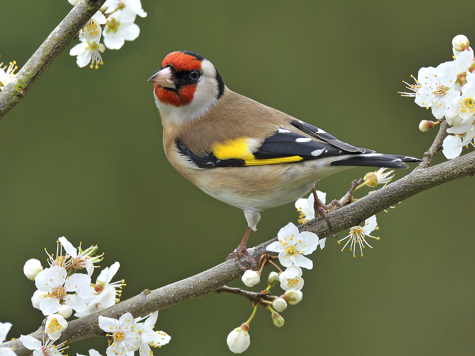 European Goldfinch Photos