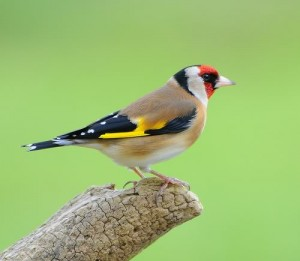 European Goldfinch Pictures