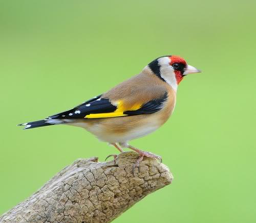 Bird observations on Netfugldk!