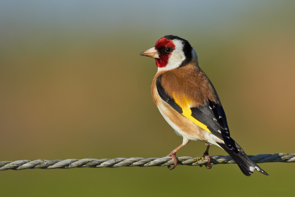 European goldfinch facts temperament as pets care pictures european goldfinch biocorpaavc