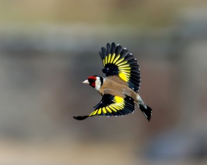 Flying European Goldfinch