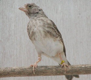 Gray Singing Finch